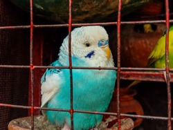 Closeup of beautiful Budgerigar. Budgerigar sitting on the door of cage.Beautiful Budgerigar Parrots.Lovebirds in Cage.Beautiful Parakeet in Cage.With Selective Focus on the Subject.