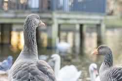 Closeup of beautiful greylag goose walking in the park with other birds behind. Brown patterned big bird looking for food, the largest and bulkiest of the wild geese native to the UK and Europe