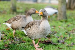 Closeup of beautiful greylag goose walking on grass in the park with more birds behind. Brown patterned big bird looking for food, the largest and bulkiest of  wild geese native to the UK and Europe