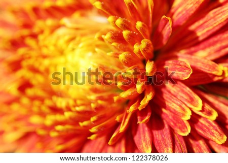 Closeup of beautiful orange chrysanthemum flower. This pretty blossom is also known as  mums and  chrysanths
