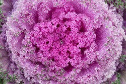 Closeup of beautiful ornamental kale pink decorative cabbage gardening element with wavy fractal like edges.