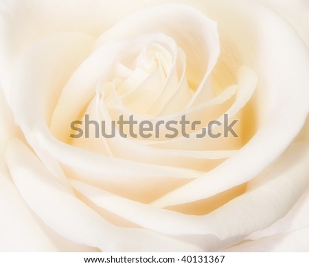 Closeup of beautiful rose bud blooming