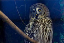 Closeup of beautiful unique Great Grey Owl bird looking front and relaxing on tree branch at night