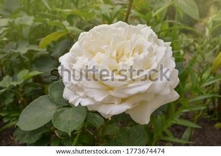 Closeup of beautiful white rose flower. Beautiful white rose in the garden