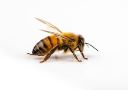 Closeup of bee with detail isolated on white background with free space for text