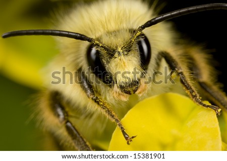 Closeup of bee with pollen on its head