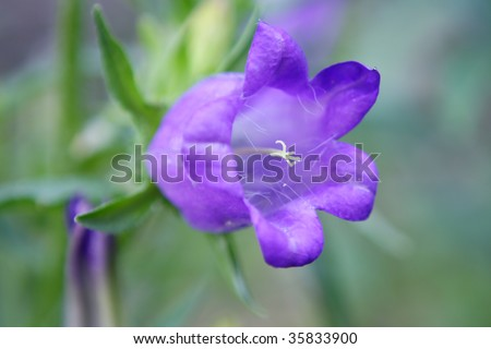Closeup of bellflower.Shallow focus depth on center of flower