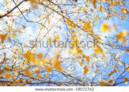 Closeup of birch tree with dry leaves in autumn - stock photo