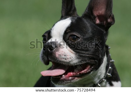 closeup of black and white Boston Terrier Dog looking to the side with tongue out panting