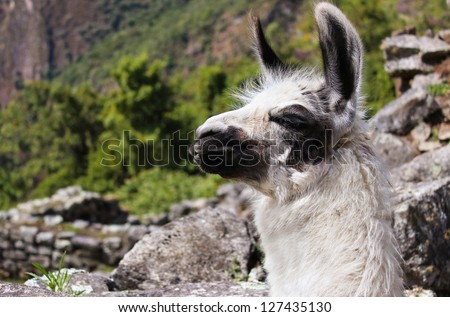 Closeup of black and white llama on top of the Machu Picchu