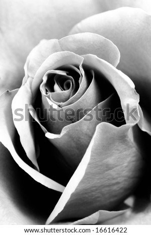 white rose wallpaper. ring white roses wallpaper