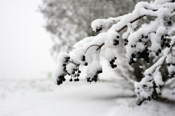 Closeup of black berries on tree branch covered by the snow