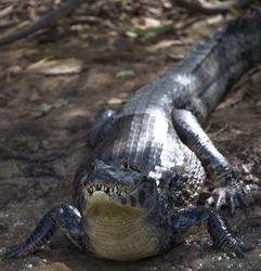 Closeup of Black Caiman (Melanosuchus niger) on riverbank staring at camera Pampas del Yacuma, Bolivia.