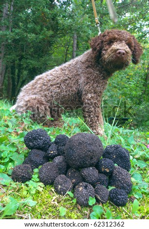 closeup of black truffles, dog in the background
