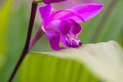 Closeup of Bletilla striata or hyacinth orchid or Chinese ground orchid or urn orchid