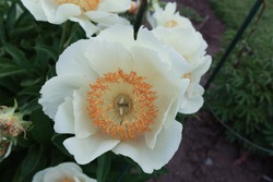 Closeup of bloomed peony flower with seedpods