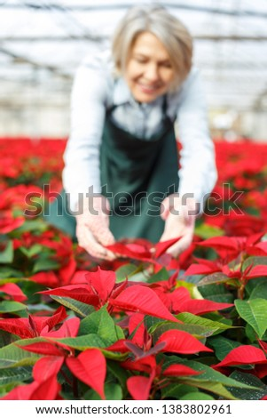 Closeup of blooming poinsettias on blurred background with female florist caring for plants