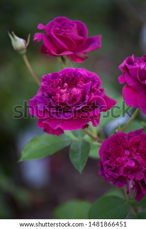 Closeup of blooming William Shakespeare English rose in flower garden #1481866451