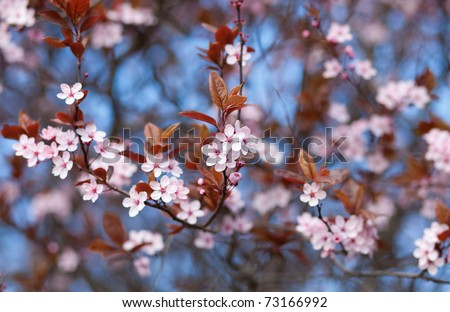 Closeup of blossoming cherry tree branch