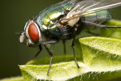 Closeup of blow-fly  or carrion fly Calliphoridae