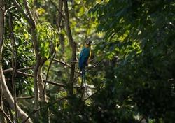 Closeup of blue-and-yellow macaw Ara ararauna colorful parrot bird wildlife in Amazon rainforest jungle nature Sauce Lagoon Tarapoto Peru South America
