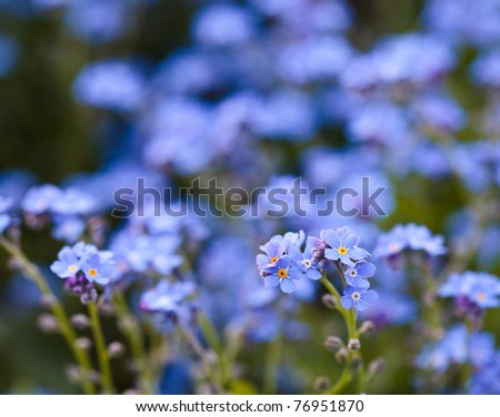 Closeup of blue forget-me-not flowers in a garden