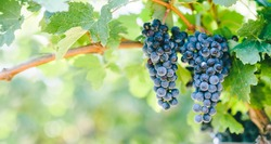 Closeup of blue grape in vineyard with sunlight. Winery and grapevine growing background frame. Grape growing and wine making design banner.