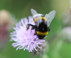 Closeup of Bombus terrestris, the buff tailed bumblebee or large earth bumblebee, collecting nectar from creeping thistle flower