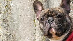 Closeup of brindle French bulldog  , sad  black dog at the park ,dog expression concept