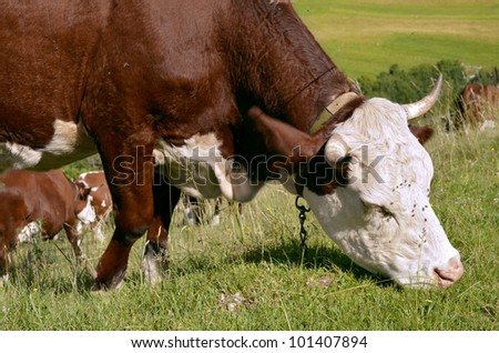 Closeup of brown and white cows grazing in the high mountain pasture near of village of Bernex in the Haute-Savoie department in the Rh�´ne-Alpes region in south-eastern France
