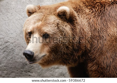 Closeup of brown bear head and shoulders.