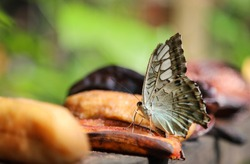 Closeup of brown butterfly eating banana under bright sunlight in the zoo in hot sunny day.