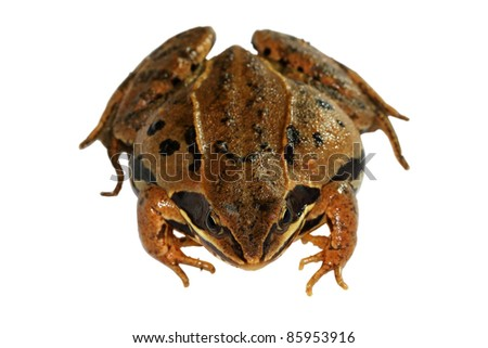Closeup of brown frog isolated on a white background