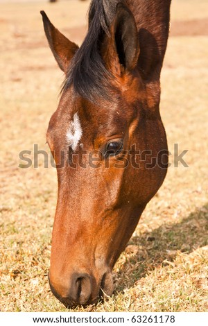 Closeup of brown horse head eating dry grass