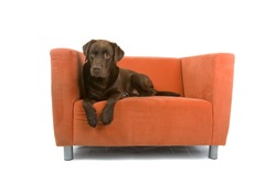Closeup of brown labrador retriever dog sat on small sofa or chair, isolated on white background.