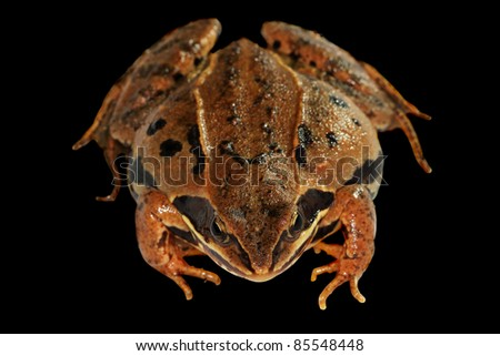 Closeup of brown toad  isolated on a black background