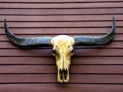 Closeup of buffalo skull.