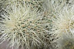 Closeup of cactus white cactus spikes
