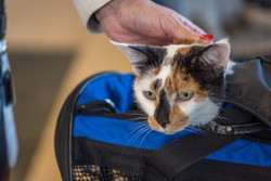 closeup of calico cat head peeking out of cat carrier at animal hospital