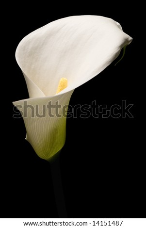 closeup of calla lily flower on black background
