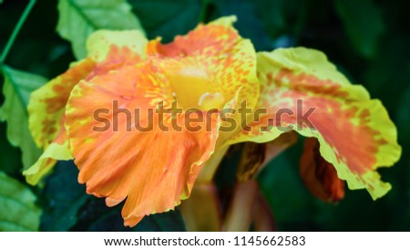 Closeup of Canna Lily, also as known Yellow King Humbert, with green leaves background. Orange and yellow flowers by the fence.Canna tropicana flower. Radiant Canna Lily blossom on a summer day.