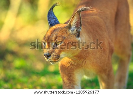 Closeup of Caracal, African lynx. Desert cat in green grass vegetation. Wild cat in nature habitat, South Africa. Adult Caracal Caracal walking outdoor. Felis caracal in blurred background. #1205926177