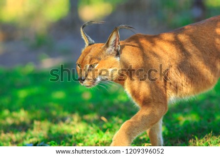 Closeup of Caracal, African lynx. Desert cat walking in green grass vegetation. Wild cat in nature, South Africa. Adult Caracal Caracal outdoor. Felis caracal in blurred background. #1209396052