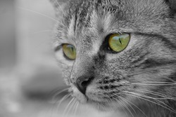 Closeup of cat face with green eyes.