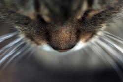 Closeup of cat nose