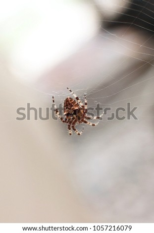 closeup of catface orb weaver...
