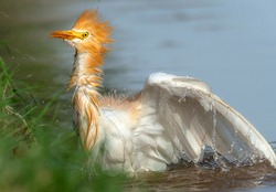 closeup of cattle egrets Bubulcus ibis in breeding plumage , details and sharp photography of wildlife animals