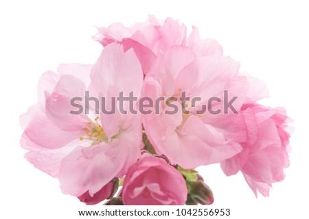Closeup of Cherry blossom, Asahiyamazakura #1042556953