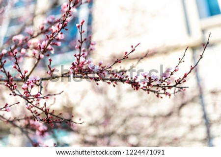 Closeup of cherry blossom branch, sakura, Japanese tree blooming, blossoming during spring, springtime in Washington DC, USA against building, urban city in background