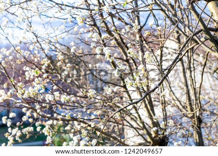 Closeup of cherry blossom branch, sakura, Japanese tree blooming, blossoming during spring, springtime in residential neighborhood, home, house, building in background
